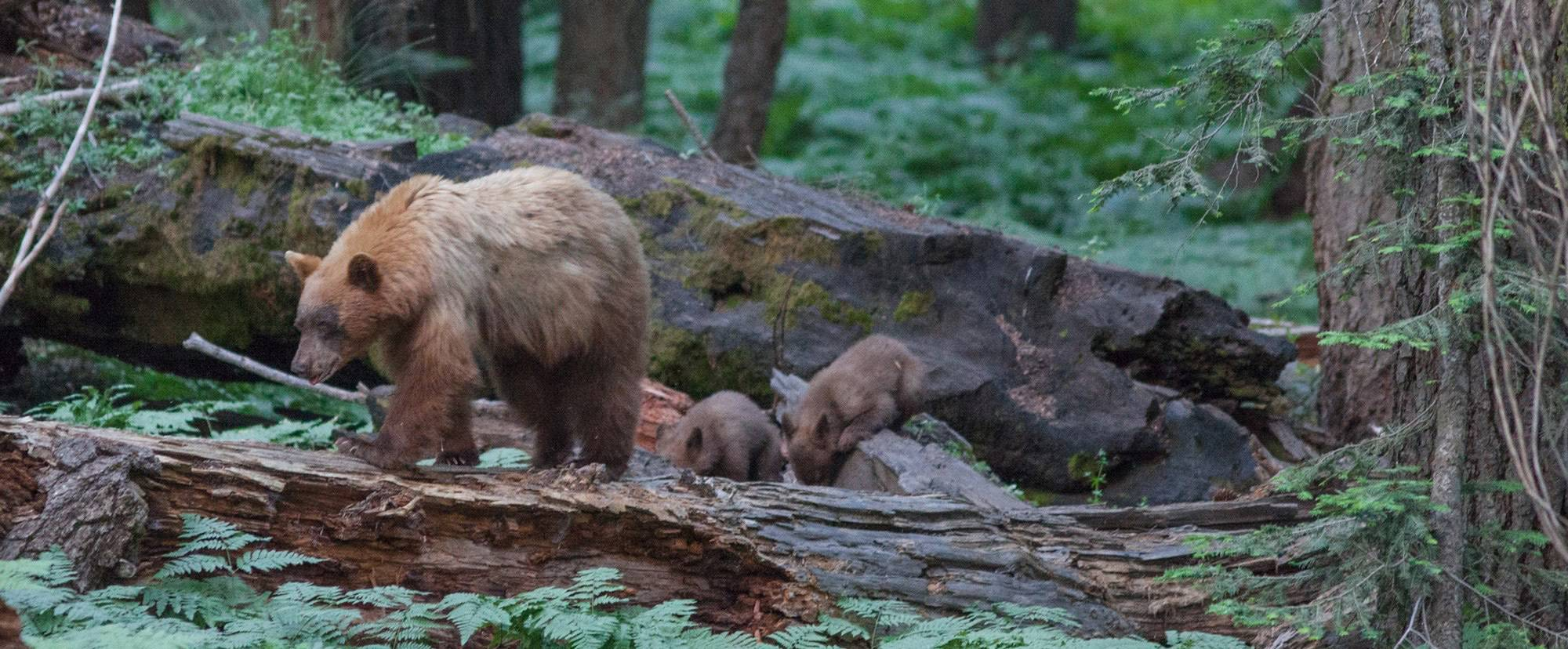 Mama Bear and Cubs Walking Through Forest